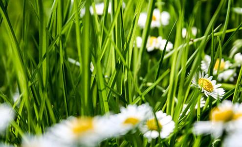 Gänseblümchen auf einer Wiese